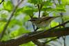 Sakhalin Leaf Warbler