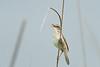 Black Browed Reed Warbler