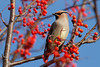 Japanese Waxwing