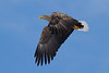 _-3 White Tailed Eagle