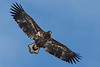 _-8 White Tailed Eagle