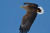 _-6 White Tailed Eagle