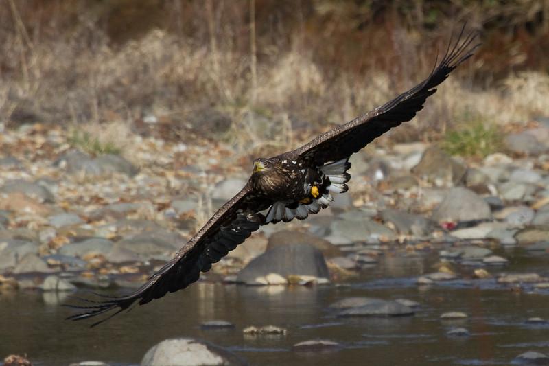 IMG_6886 White Tailed Eagle