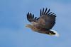_-4 White Tailed Eagle