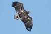 _-7 White Tailed Eagle