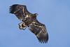 _-9 White Tailed Eagle