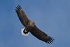 _-2 White Tailed Eagle