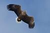 White Tailed Eagle White Tailed Eagle