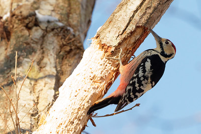 White-backed Woodpecker