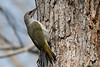 Grey Headed Woodpecker