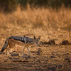 A Jackal Sneaks By