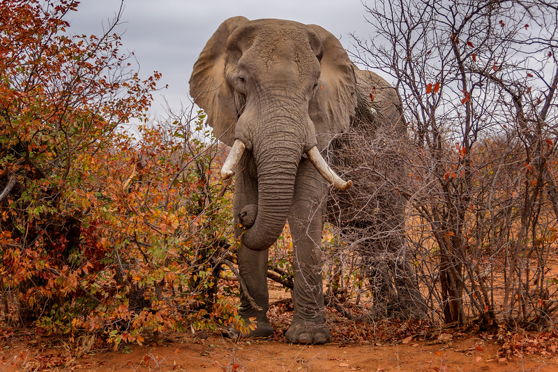 Elephant and Mopani