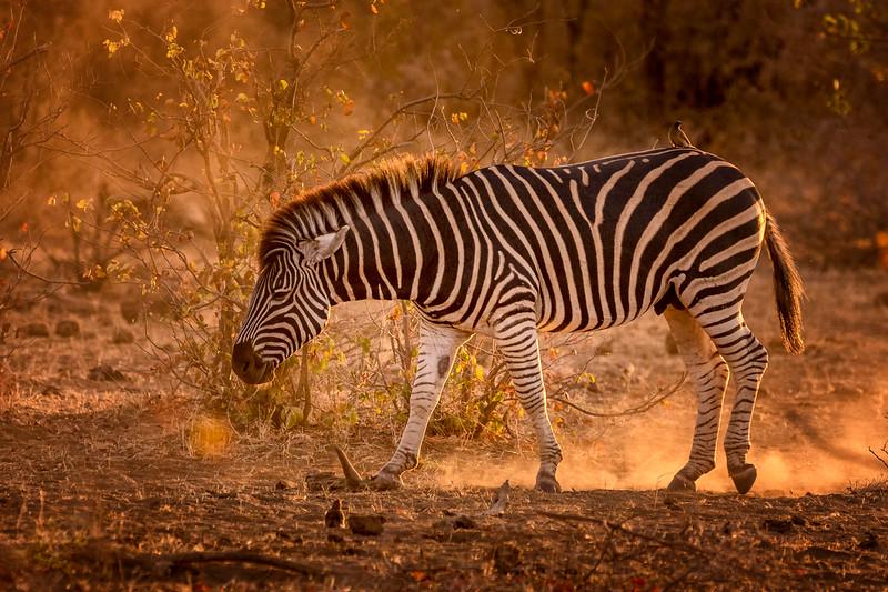 Riding the Sunset Zebra