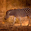 Riding the Sunset Zebra