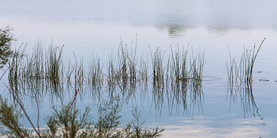 line of reeds reflects in still lake water