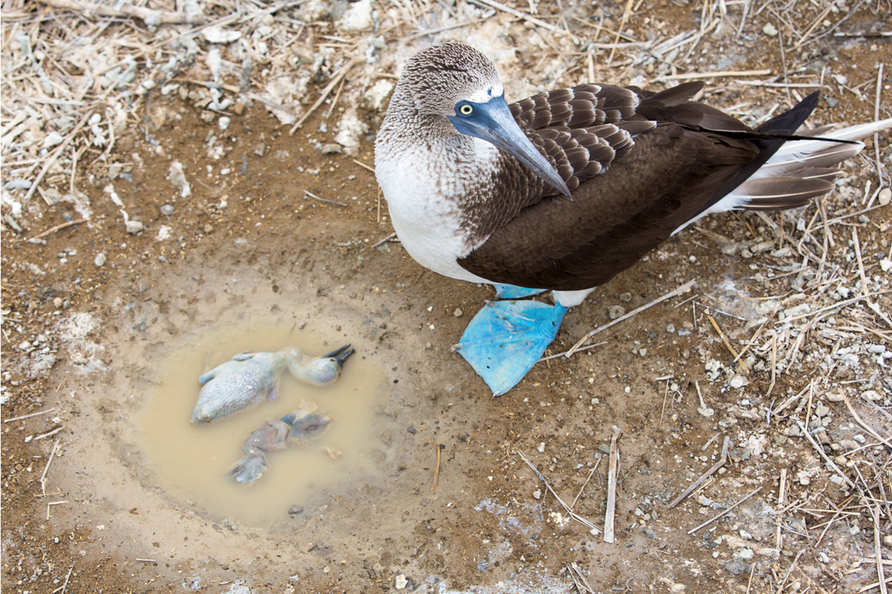 Blue-Footed Booby and drowned babies<br /> Isla de Plata, Ecuador