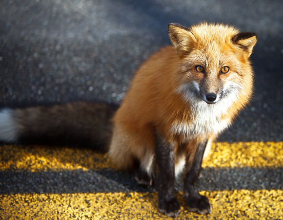 Why did the Fox cross the road?