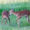 Fawns_20070612_