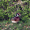 Wood Ducks 32804 003 Crop Enhance