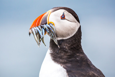 Puffin with eyes closed
