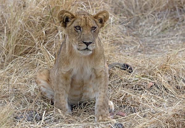 Inquisitive wild cub