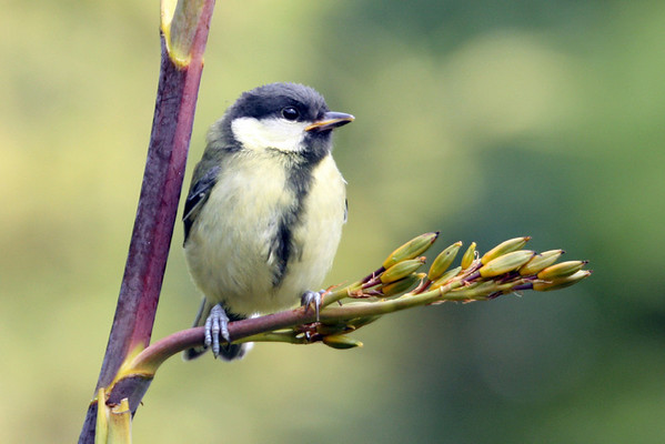 Baby Great tit