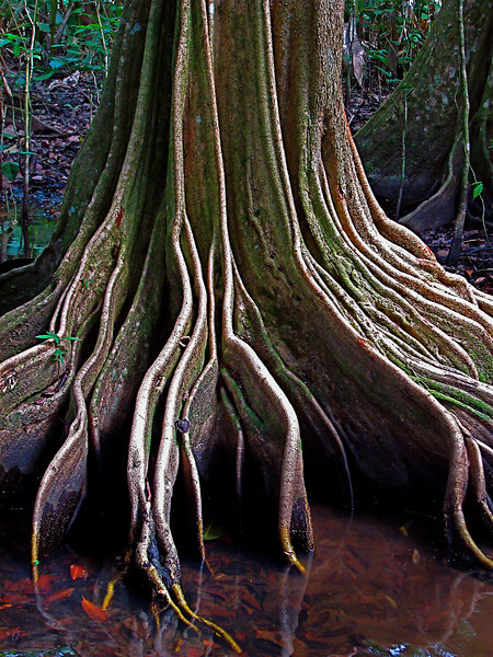 Root buttresses of the swamp dwelling tree, Pterocarpus officinalis, Corcovado Naitonal Park, Costa Rica