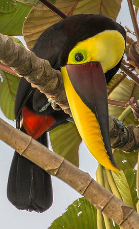Chestnut mandibled toucan, Osa Peninsula, Costa Rica