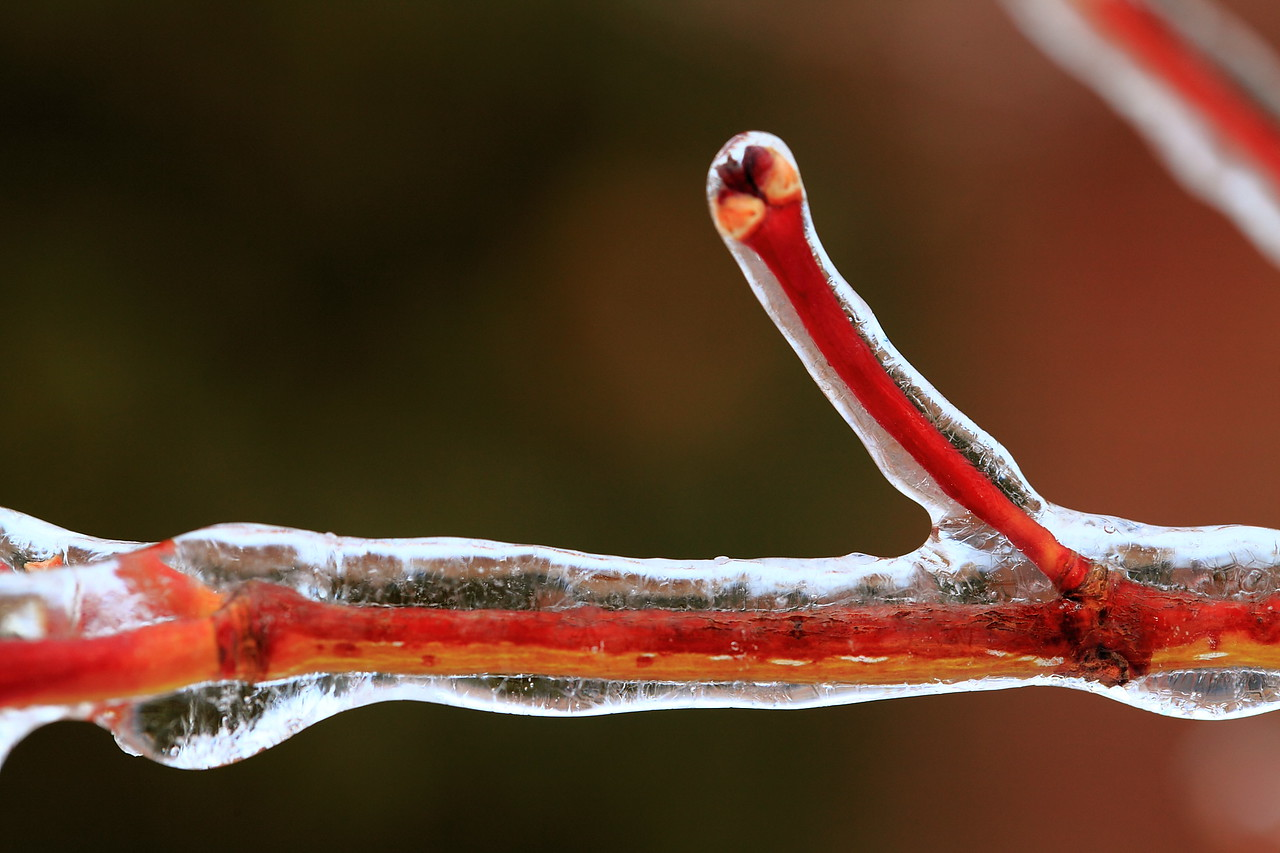 Japanese maple stem in ice