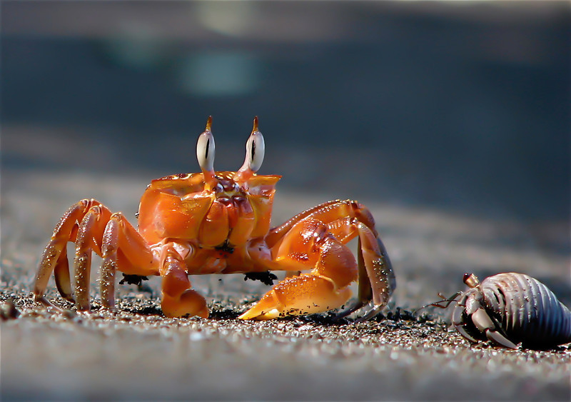 Crab encounter.  Ghost crab (Ocypode gaudichaudi) meets hermit crab on the beach at Campanario, Osa Peninsula, Costa Rica.
