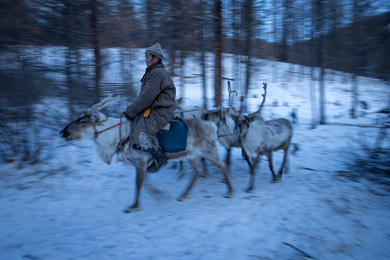 Reindeer herder riding his reindeers.