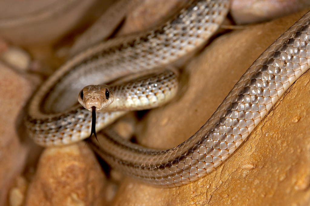 A ribbon snake looks in the camera.