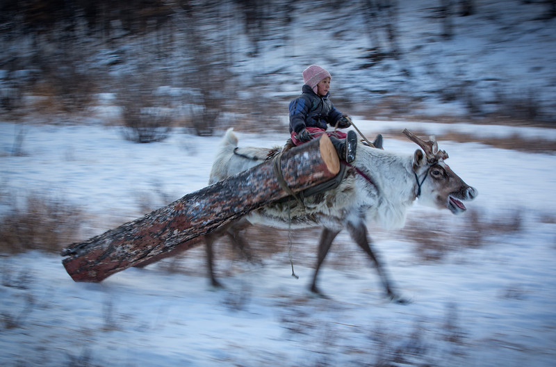 Collecting firewood with reindeers