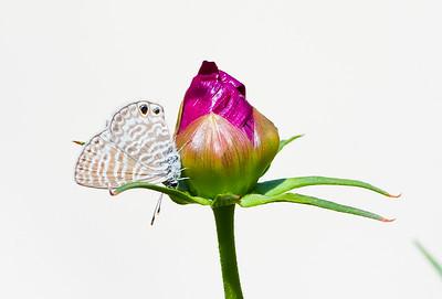 Marine Blue Butterfly on Flower