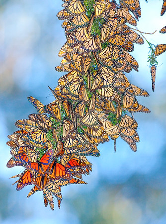 Morarch Butterfly winter group