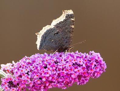 Mourning Cloak Butterfly on Flower