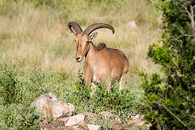 Aoudad on the Rocks