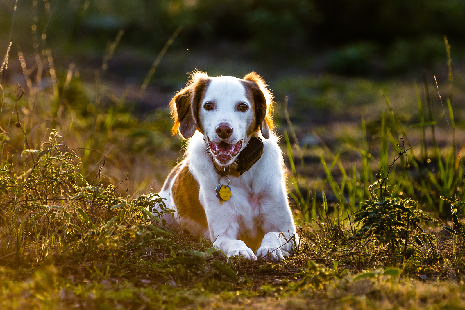 Brittany Spaniel Glowing in the Sunset