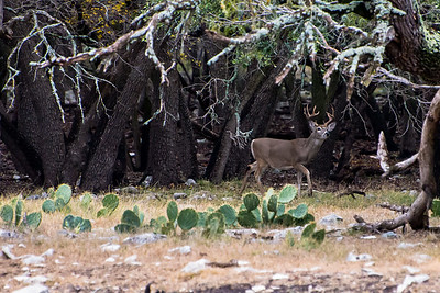 Whitetail Buck Exploring the Woods