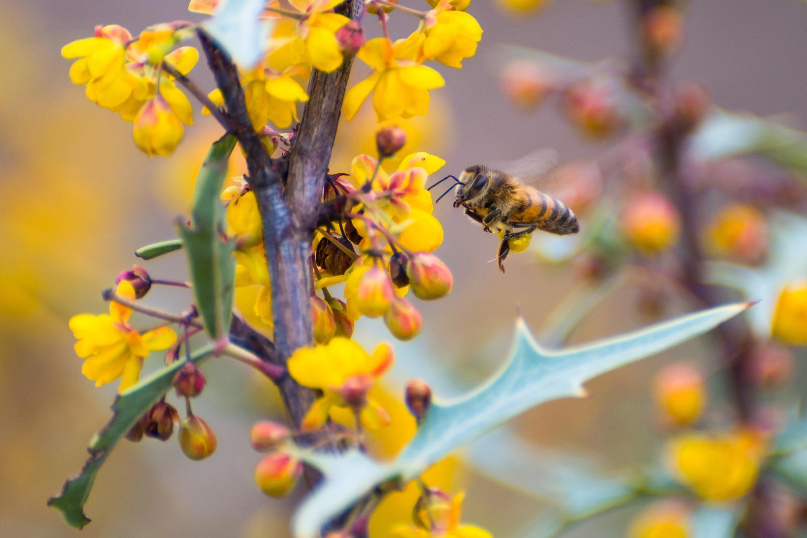 South Texas Agarita Honey Bee