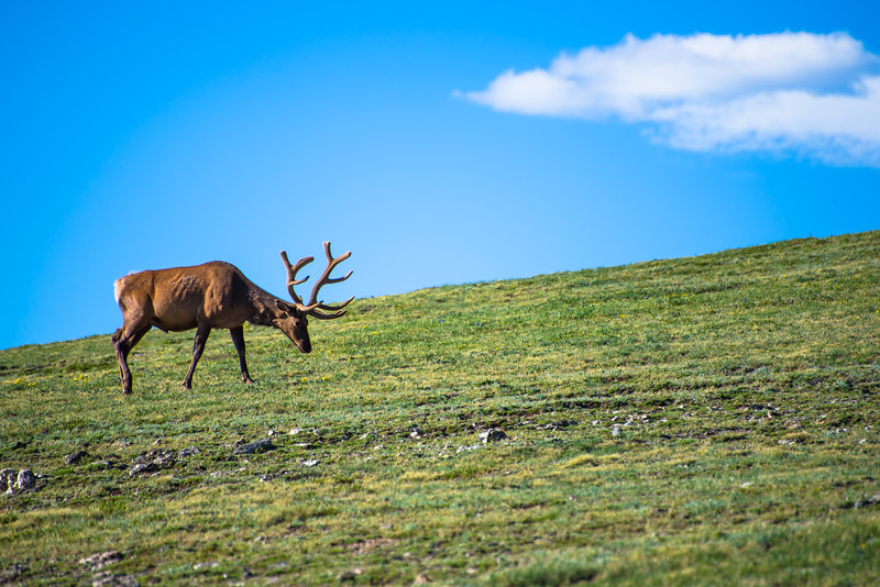 Elk on the Tundra