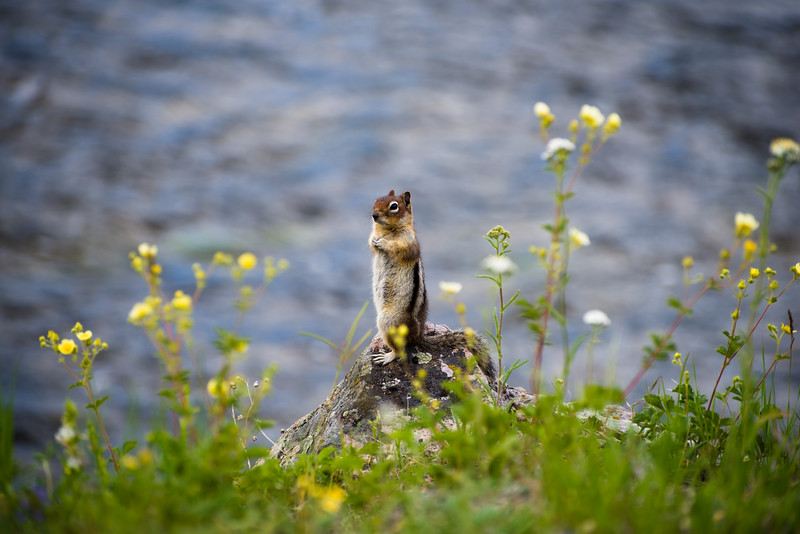 Chipmunk by the Water