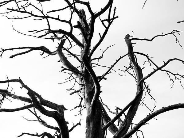 Gammalt dött träd