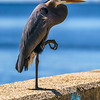 """Great Blue Heron"" - Broadwater Marina, Biloxi, MS"
