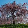 Weeping Cherry, Highland Park, Rochester, NY