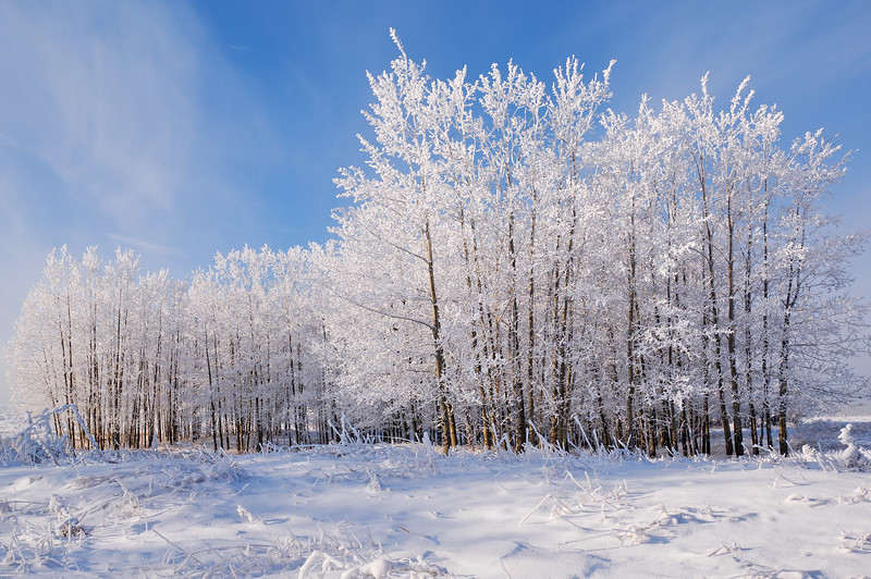 Frosted trees at Nose Hill Park-February 6-2019