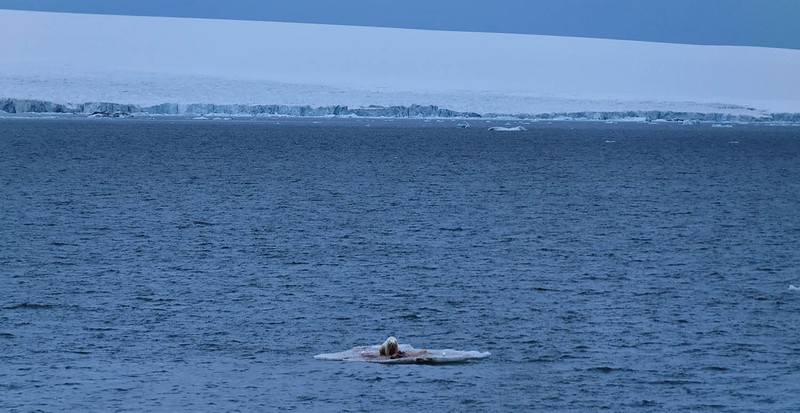 Polar bear with seal kill, Austrian Channel, Wilczek Island in background