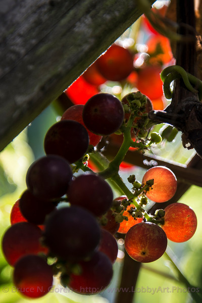 Gaertner Grapes