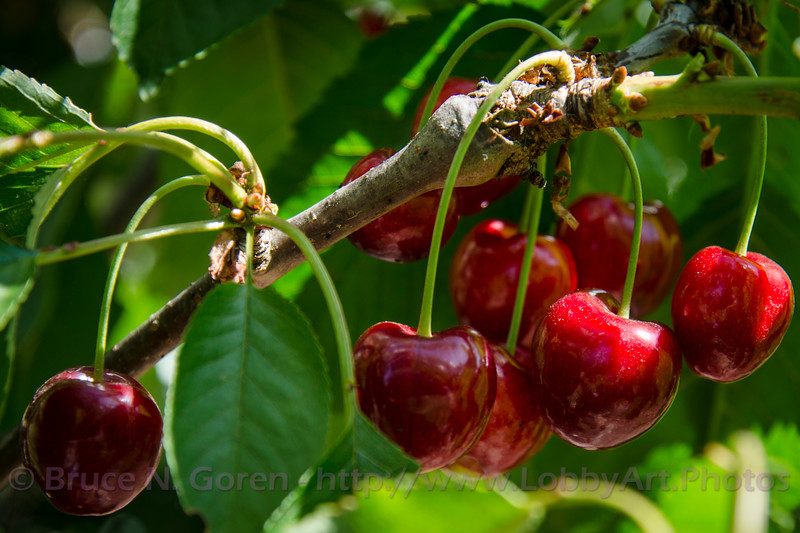 Stella Cherries