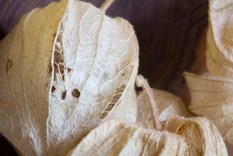 Dried husks of the cape gooseberry, Physalis peruviana. This berry is not native to the Cape. It is possible that the name originally was 'caped gooseberry', which would refer to the calyx that encloses the berry like a cape.
